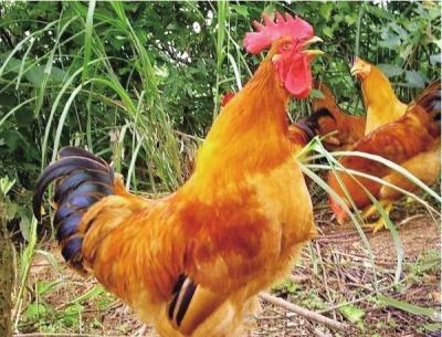 黄色片色鸡鸡_母鸡全身黄色,有深浅之分,羽片端部或边缘有黑色斑点,因而形成深麻色