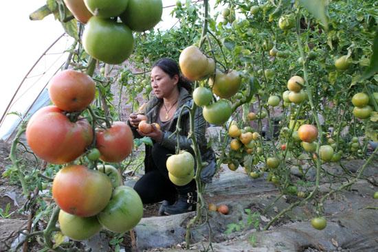 12月3日,种植户在新疆哈密市现代农业园区设施农业大棚里采摘西红柿。   近年来,新疆哈密市大力发展设施农业,建成农业大棚万余座,年产蔬菜达5万吨,设施农业成为当地群众增收的重要途径。 新华社发(蔡增乐 摄)