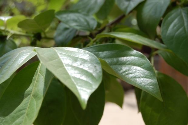 背景 壁纸 花 绿色 绿叶 树叶 植物 桌面 620_412