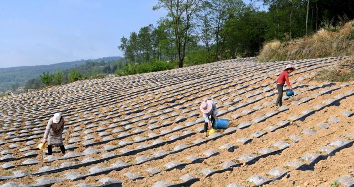 越西县新民镇五福村五福山上正在田间进行春种的村民。 刘忠俊 摄