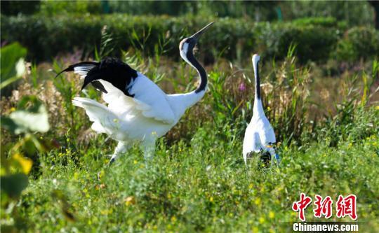 甘肃戈壁湿地白鹤翩翩起舞增秋色