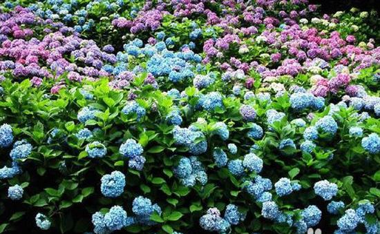 qq游戏玫瑰花园嫁接_玫瑰花园嫁接怎么弄-QQ玫瑰花园里的植物怎么嫁接呢?如何操作 ...